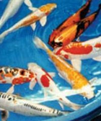 Thorley International Koi