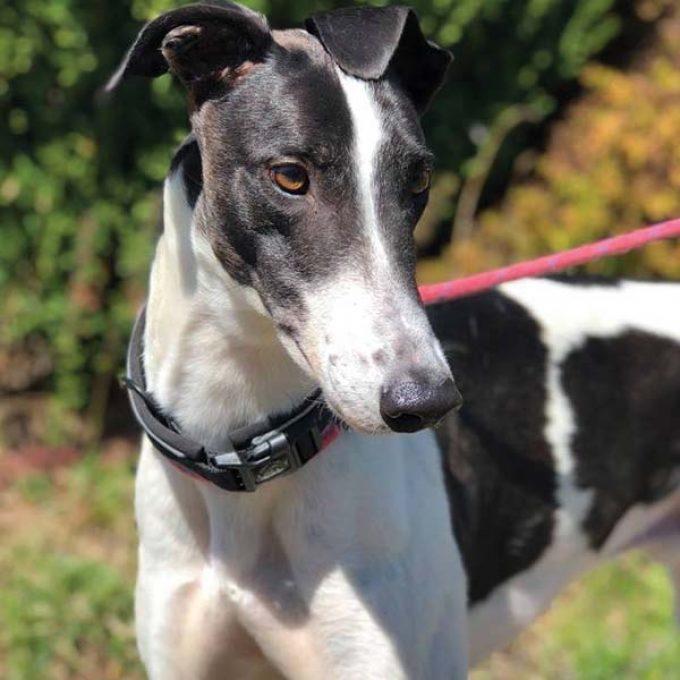 Greyhound Trust Harvel